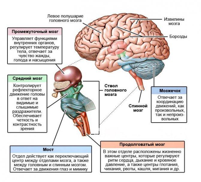 Строение отделов головного мозга
